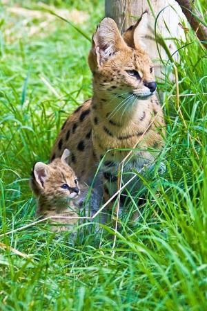serval mom and cub Ray Thomas