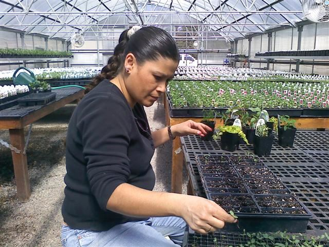 A woman working in a greenhouse.
